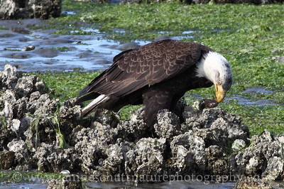 Bald eagle eating a fish.  Photo taken from the Big Beef Bridge in Seabeck, Washington.
