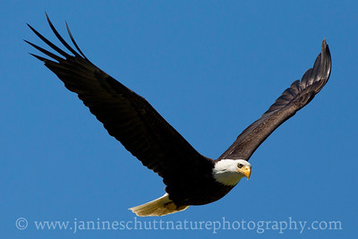 Bald Eagle in flight.  Photo taken near Oak Harbor on Whidbey Island, Washington.