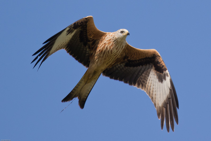 Red Kite - Rød Glente