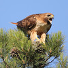 Red-Tailed Hawks : Red-Tailed Hawk (Buteo jamaicensis)