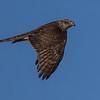Sparrow Hawk - Spurvehøg