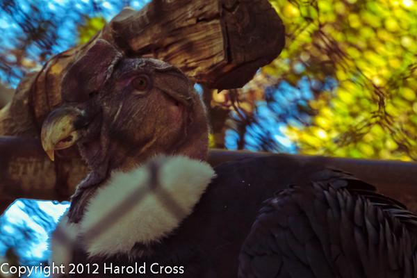 An Andean Condor taken Jun. 27, 2012 in Salt Lake City, UT.