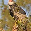 A California Condor taken Feb, 13, 2010 in Phoenix, AZ.