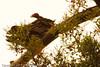 A California Condor taken Sep. 29, 2011 near Big Sur, CA.