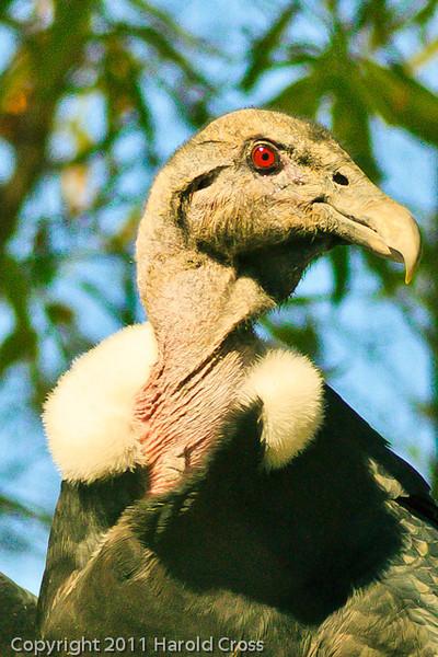 A California Condor taken Feb. 13, 2010 in Phoenix, AZ.