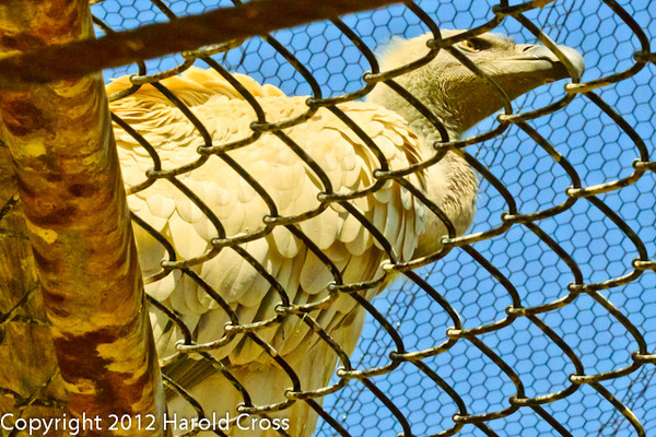 A Cape Griffon Vulture taken July 19, 2012 in Albuquerque, NM.