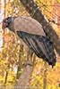 A King Vulture taken Feb. 26, 2012 in Tucson, AZ.