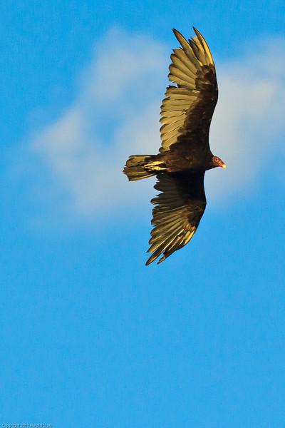 A Turkey Vulture taken July 18, 2011 near Carlsbad, NM.
