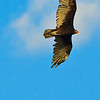 A Turkey Vulture taken July 18, 2011 near Carlsbad, NM.