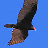 A Turkey Buzzard taken Apr 6, 2010 near Fruita, CO.
