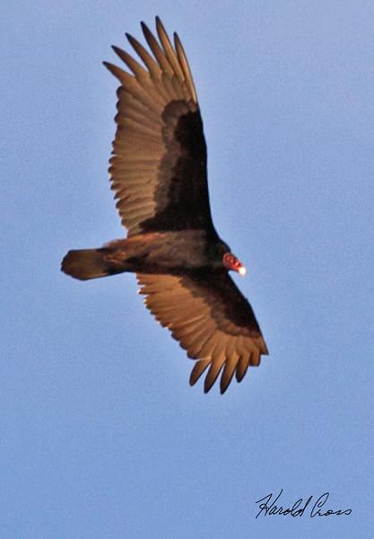 A Turkey Vulture taken Feb 14, 2010 in Gilbert, AZ.