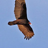 A Turkey Vulture taken Feb 14, 2010 in Gilbert, AZ.