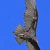 A Turkey Vulture taken Sep 9, 2010 near Fruita, CO.