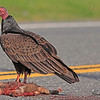 A Turkey Vulture taken Apr 24, 2010 near Fortuna, CA.