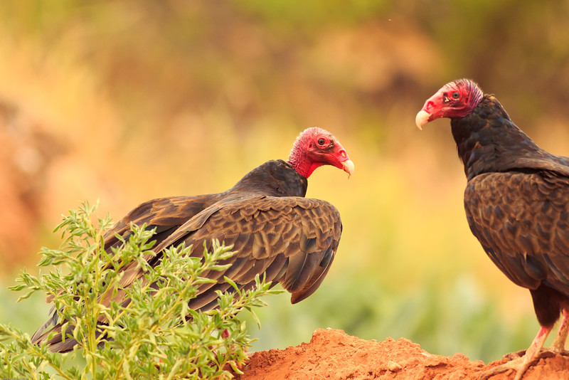 Turkey Vultures taken July 13, 2011 near San Miguel, NM.