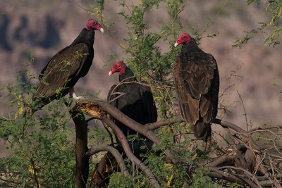 """These three Turkey Vultures looks like a bunch of """"desperados waiting for a train"""" in Baja California, Mexico."""