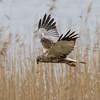 Western Marsh Harrier - Rørhøg