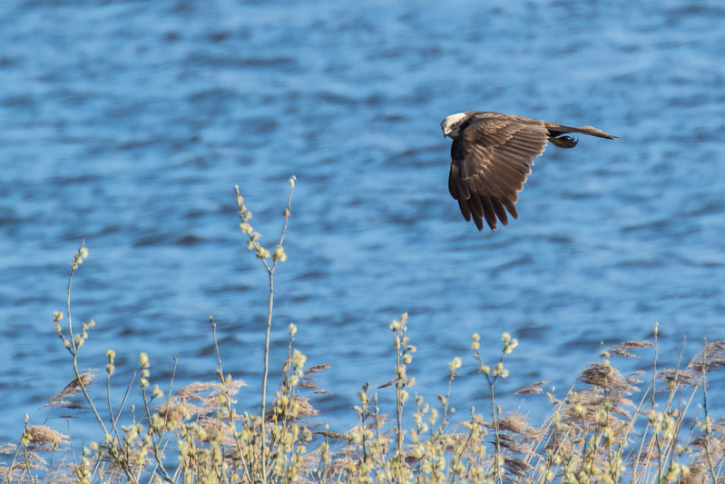 Western Marsh Harrier - Rørhøg