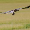 Western Marsh Harrier - Røghøg