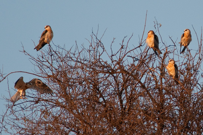 Five young kites, probably siblings.