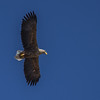 White-tailed Eagle - Havørn
