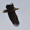 White-tailed Eagle - Havørn