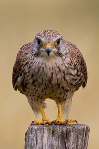 Eurasian kestrel (Falco tinnunculus), female.