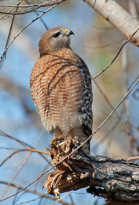 Red-shouldered Hawk Sugar Land, TX