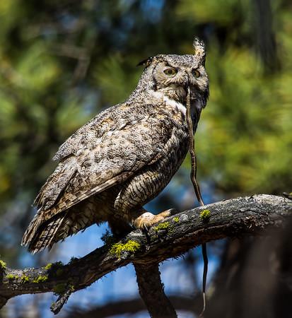 Gret horned owl with snake