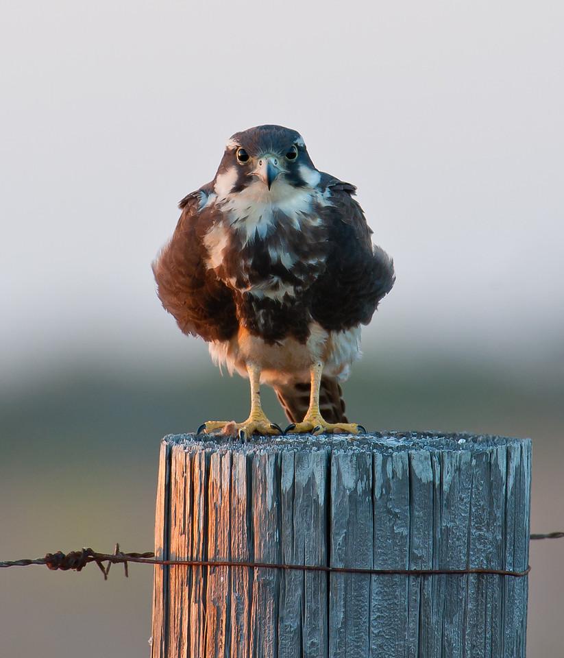 Aplomado Falcon Laguna Atascosa NWR, TX