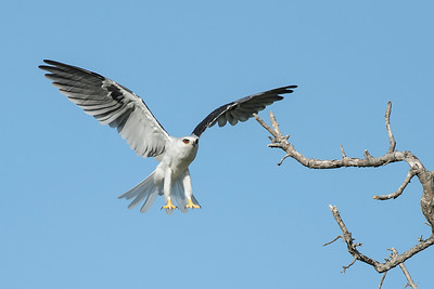White-tailed Kite Bolivar Peninsula, TX