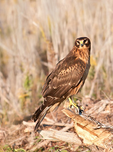 Northern Harrier Sugar Land TX