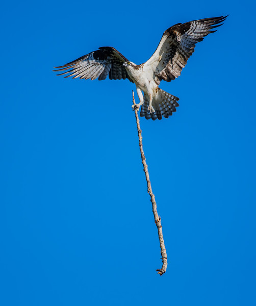 Nest building osprey