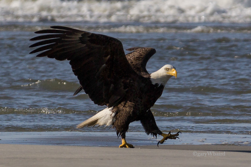 Beach Bald Eagle Strut