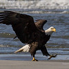 Beach Bald Eagle Strut