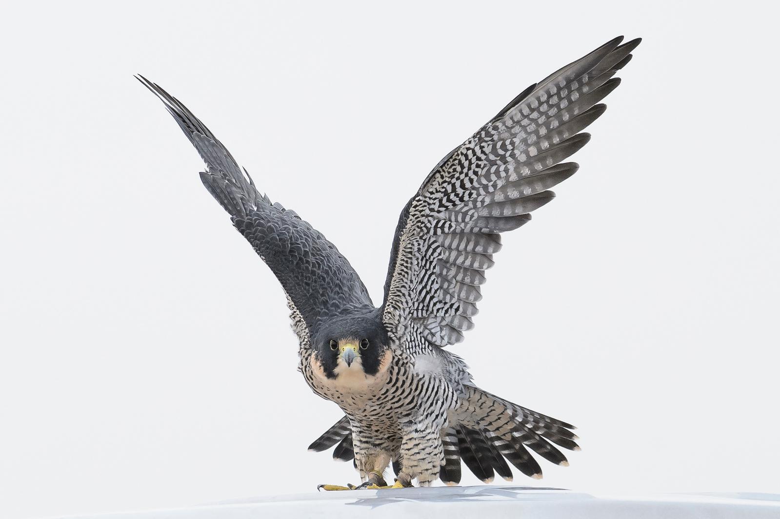 Peregrine Falcon Owner Rob Palmer.  Colorado