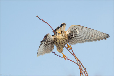 Immature kestrel (Falco tinnunculus) in winter