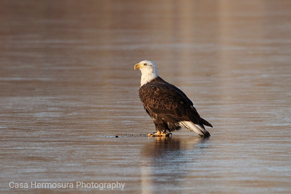 Bald Eagle (four-year old)