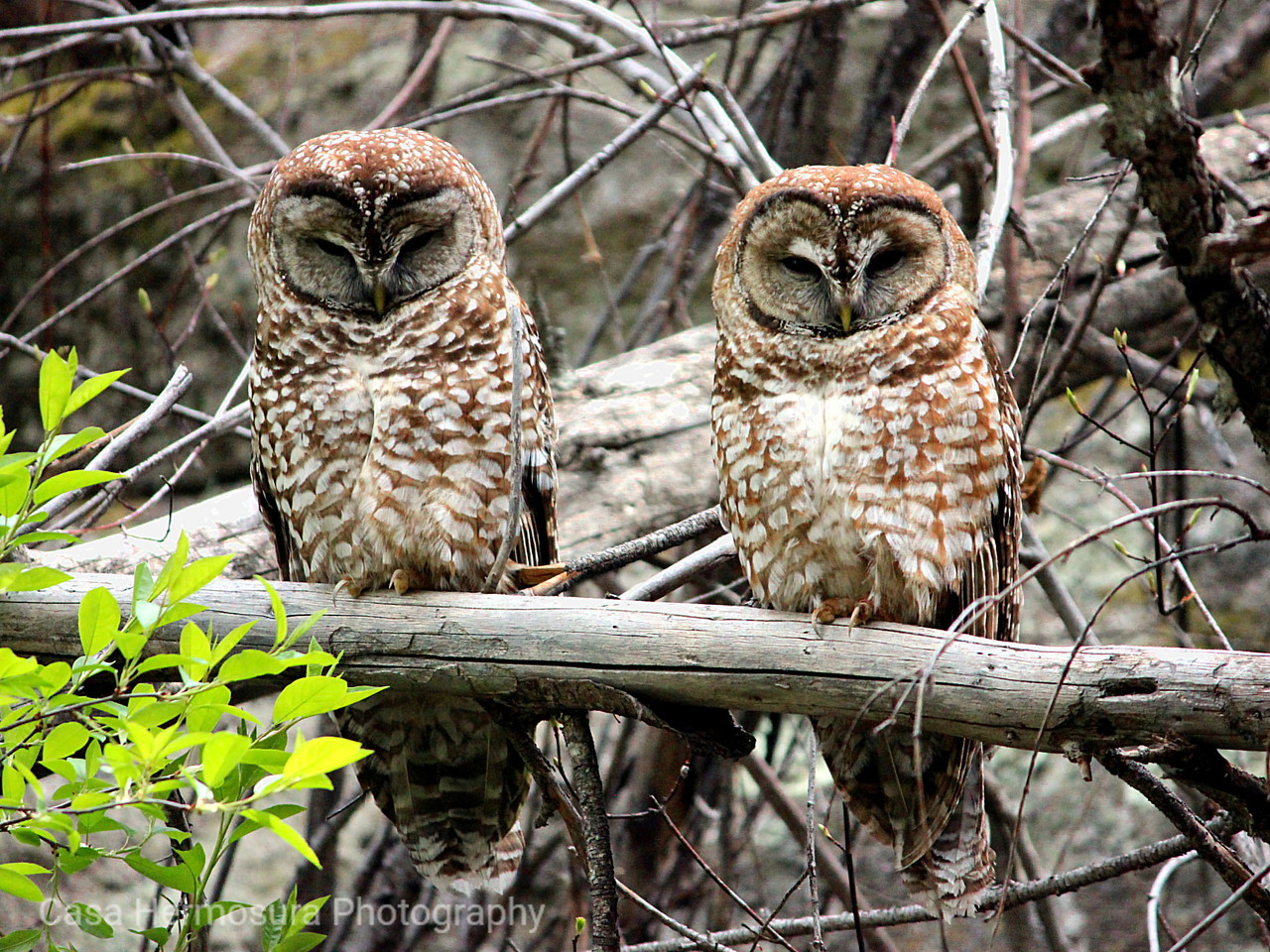 Mexican Spotted Owls; Los Alamos, New Mexico