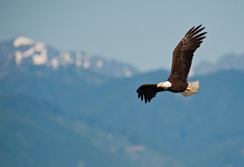 Bald Eagle Adult Seabeck WA