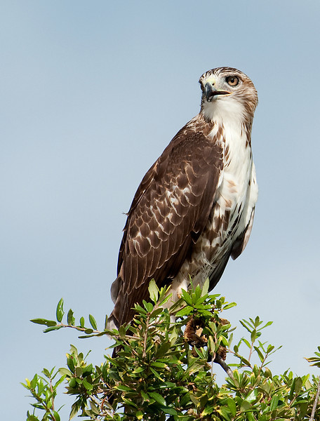 Red-tailed Hawk Sugar Land, TX