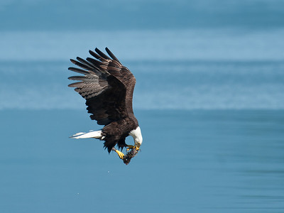 Bald Eagle Adult with Fish Seabeck WA