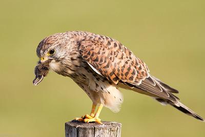 Eurasian kestrel (Falco tinnunculus), female with vole
