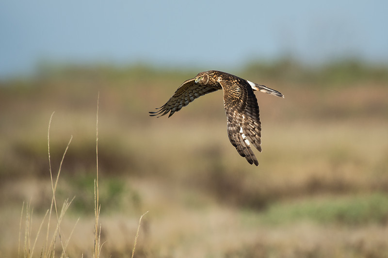 Northern Harrier Brazoria NWR, TX
