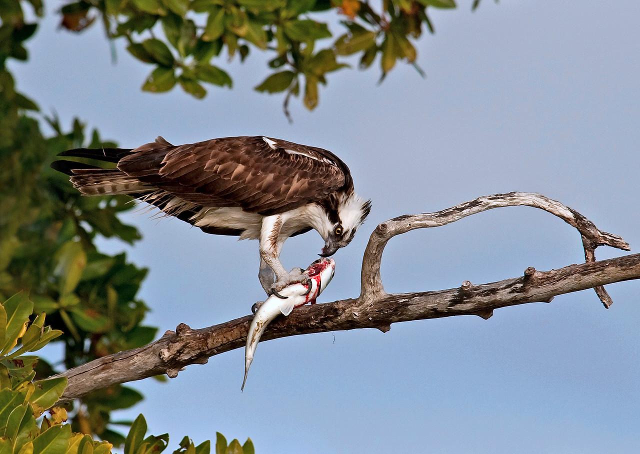 Osprey with Fish Everglades, FL