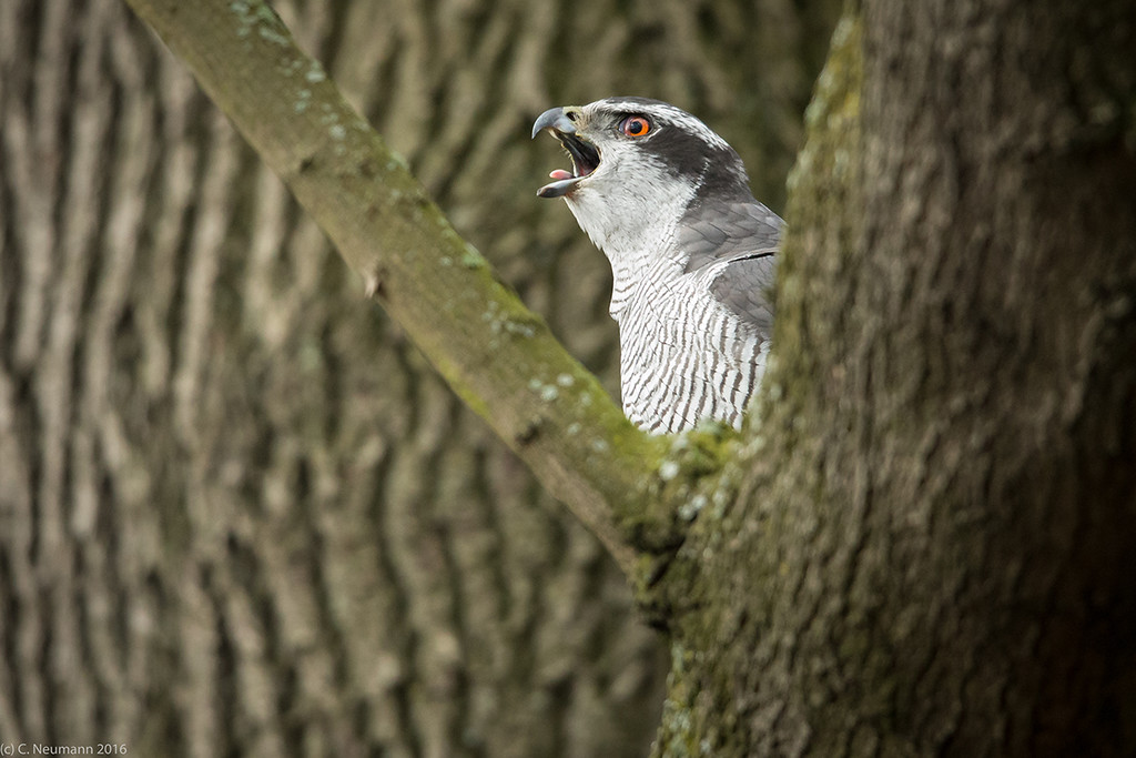 Male Goshawk courtship caling