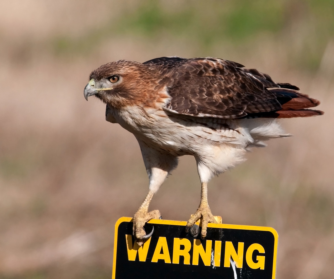 Red-tailed Hawk on Warning Sign Sugar Land TX