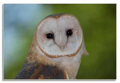 Barn Owl I see you even when you don't see me