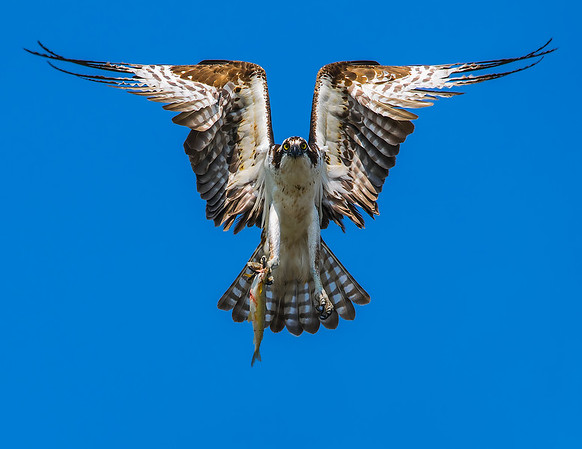 Symmetric osprey with fish