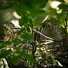 Female goshawk and fledgling